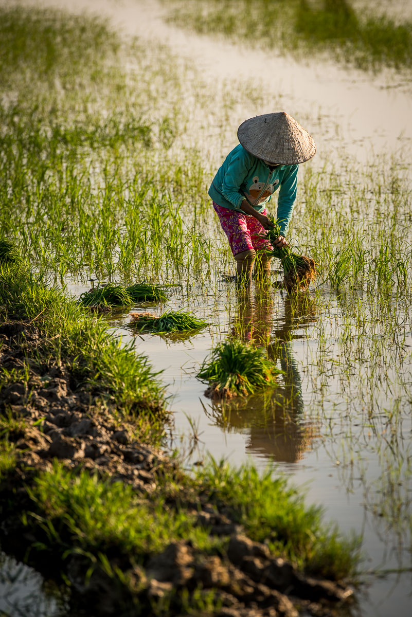 Hoi An Photo Tour Rice Planting